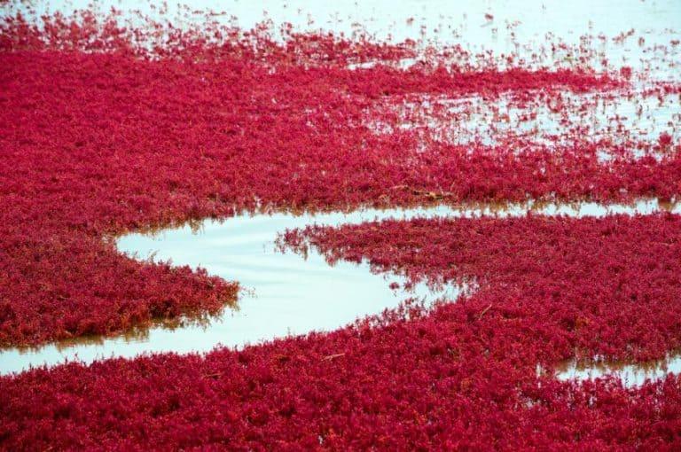 Червеният плаж в Панджин Китай 768x510