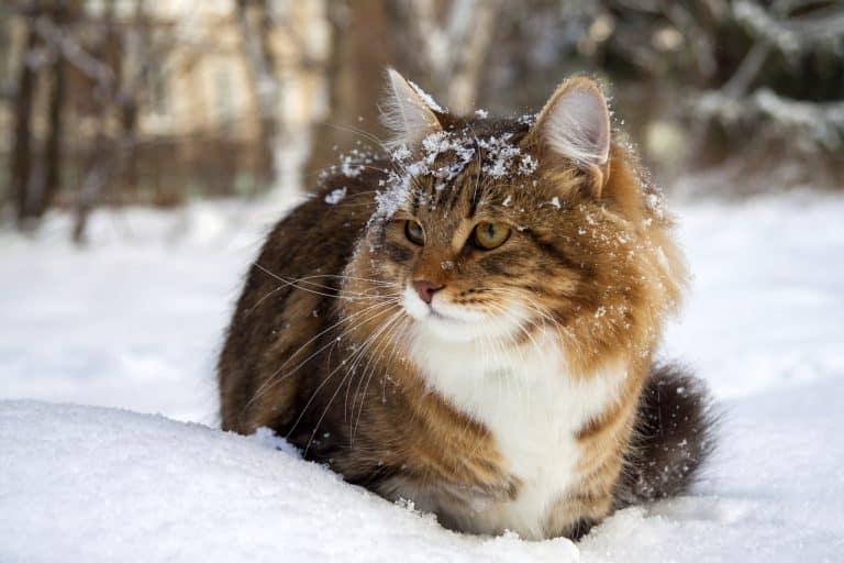 CatSnow 768x512