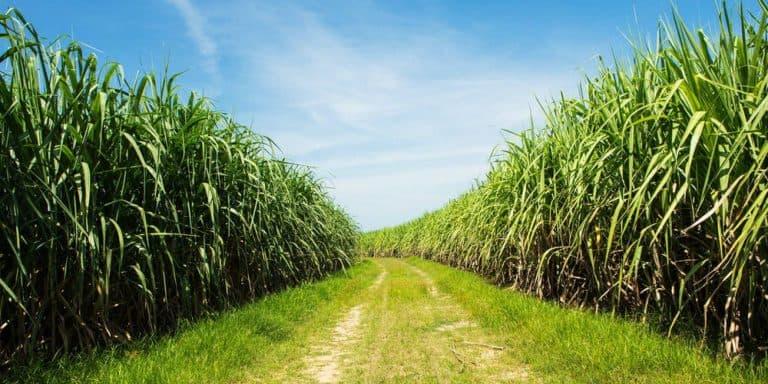 mainimage szdadoha zaharna trstika specialno za proizvodstvoto na biogorivo 768x384