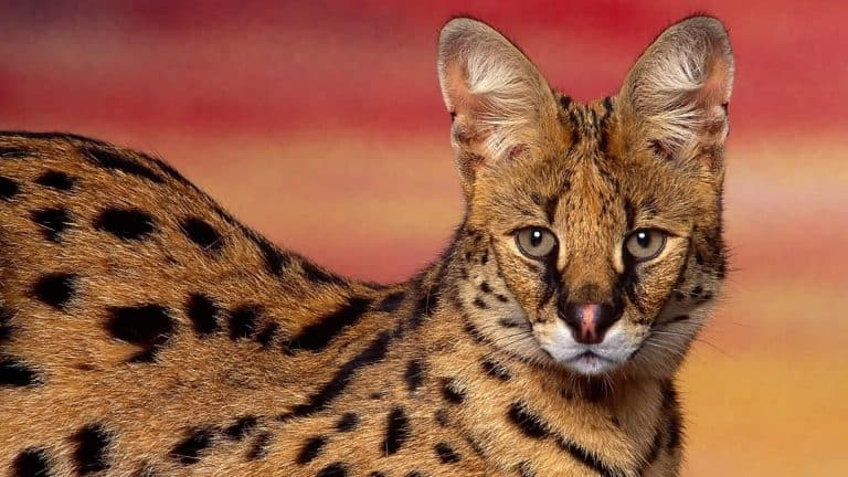 serval wallpapers hd 66265 8950804 png 768x432