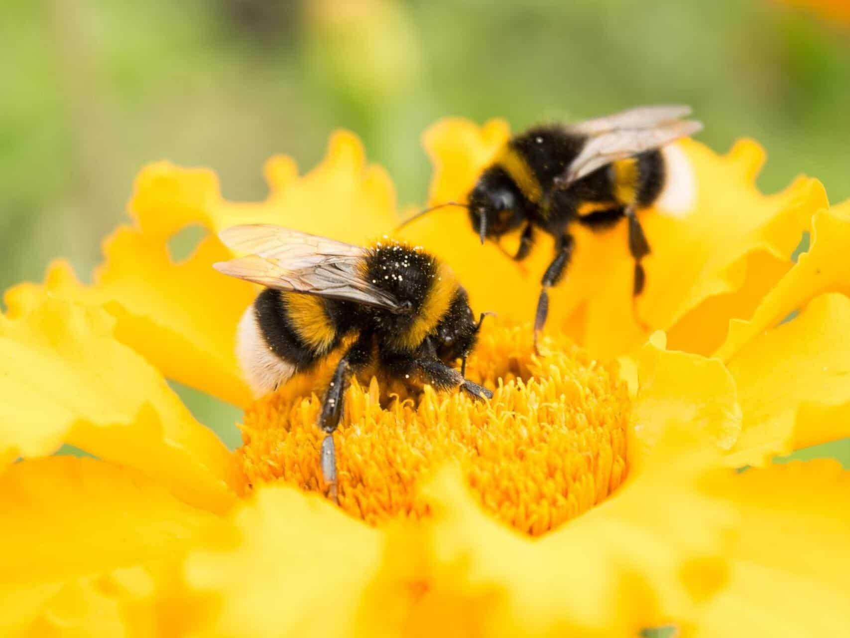 bumblebees flowers