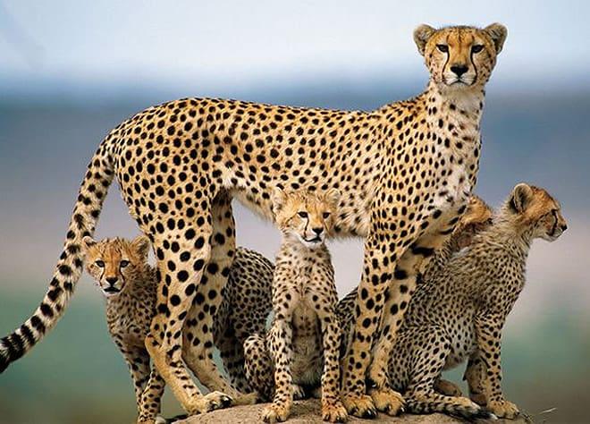 gepard stihly