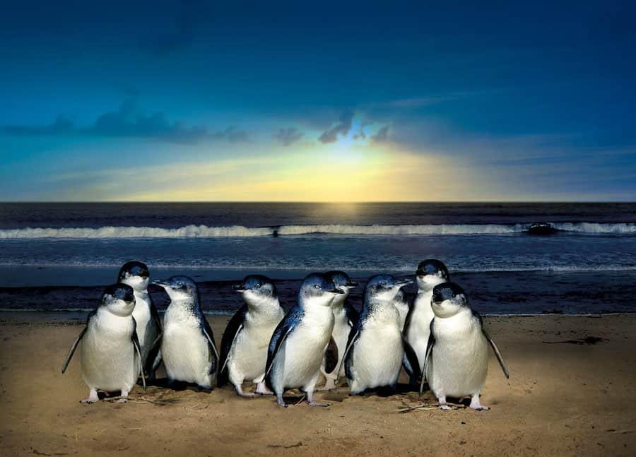 phillip island penguins feature