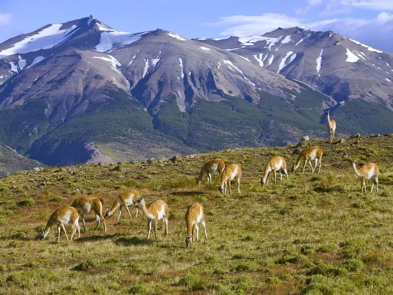 grazing_guanaco__torres_del_paine_national_park__chile